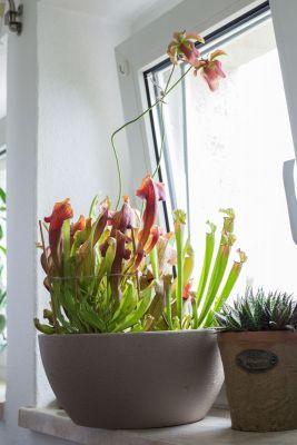 Lechuza Pflanzgefäß mit Schlauchpflanzen