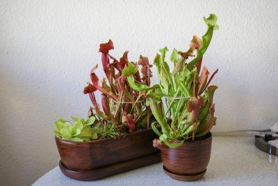 Schlauchpflanzen in Keramikschalen