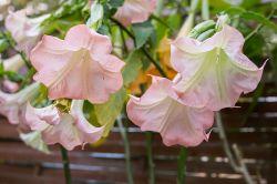 Rosa Blüten der Engeltrompete